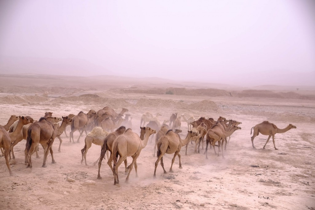 Camels .Yaniv Nadav/Flash90