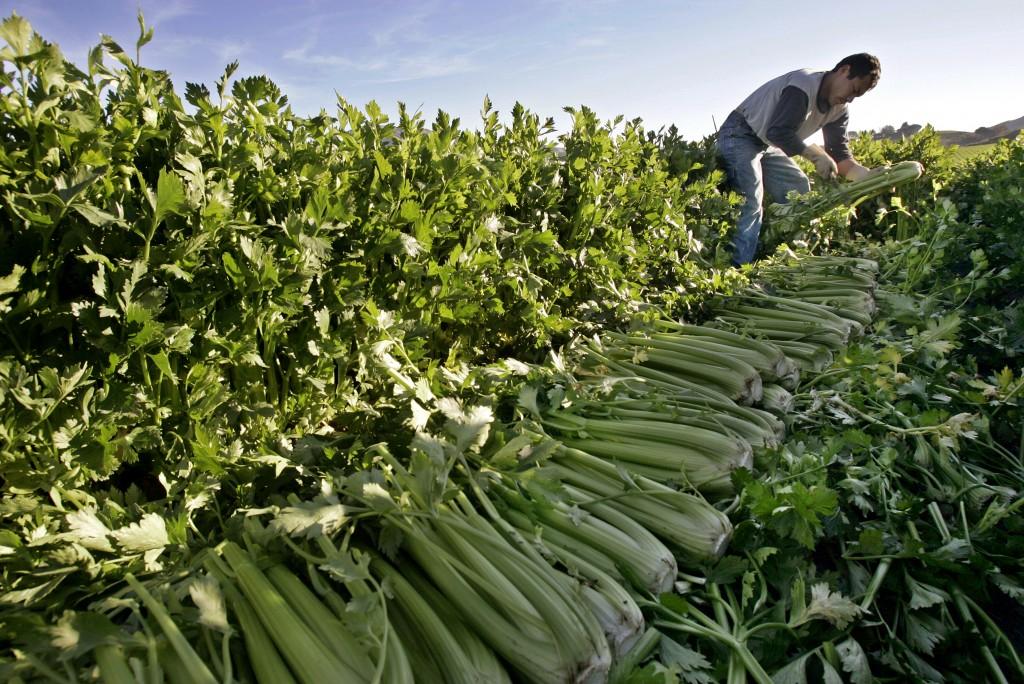A farmworker cuts celery on a farm near Fillmore, Calif. (AP Photo/Ric Francis)