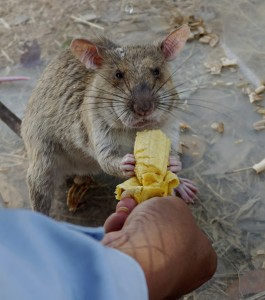 A landmine clearing rat gets a favorite reward - a banana - after a morning's effort to sniff out mines still buried in Trach, Cambodia. (AP Photo/Denis Gray)