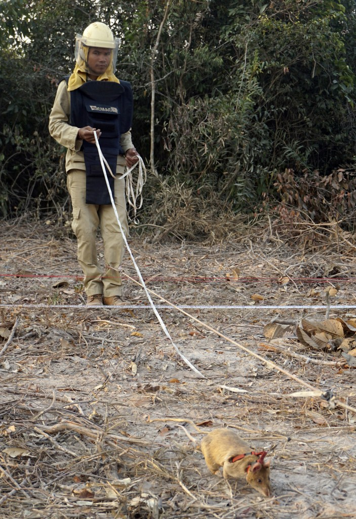 Handler Ok Chann guides mine-sniffing African rat Cletus across a suspected mine field. in Trach, Cambodia. (AP Photo/Denis Gray)
