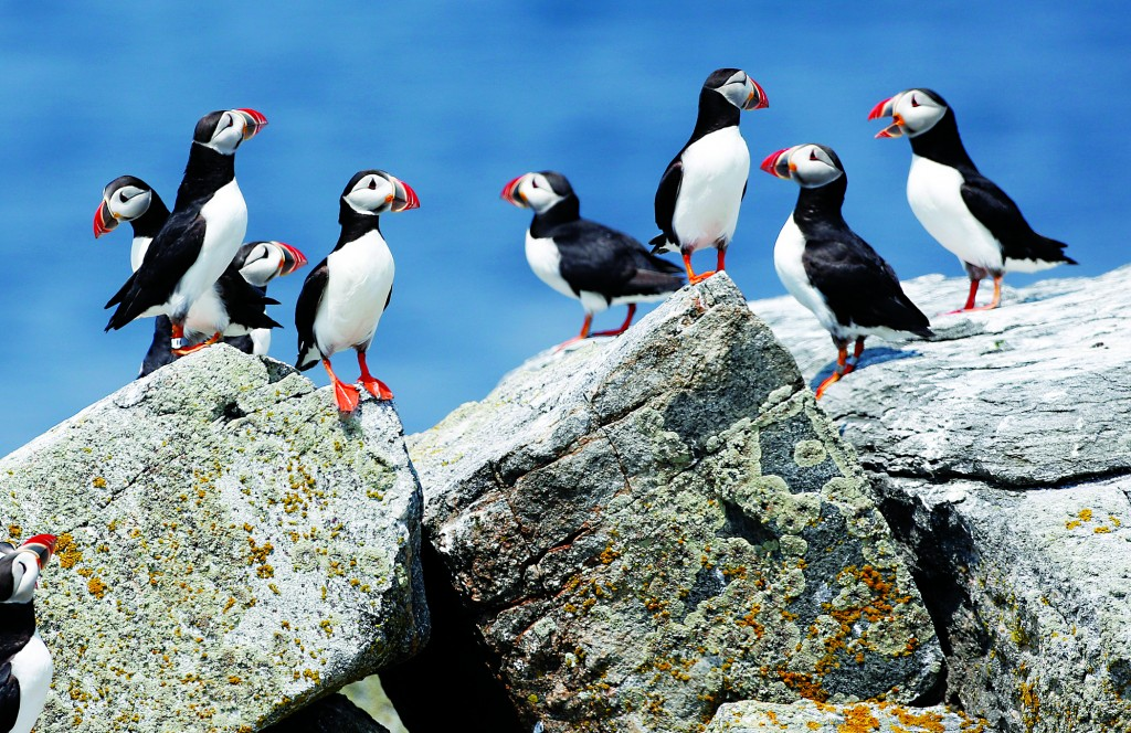 FILE--In this Aug. 1, 2014, file  photo, Atlantic puffins congregate near their burrows on Eastern Egg Rock, a small island off the coast of Maine. Scientists say they have cracked the code about where Maine's beloved, colorful Atlantic puffins go in the winter. The answer is somewhat surprising: they float out in offshore waters off the New Jersey coast. (AP Photo/Robert F. Bukaty, File)