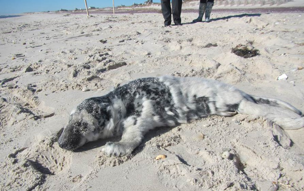 A one-month-old male gray seal pup is found Tuesday on a beach in Hampton Bays, NY.  (Daniella Ferina, Riverhead Foundation for Marine Research and Preservation via AP)