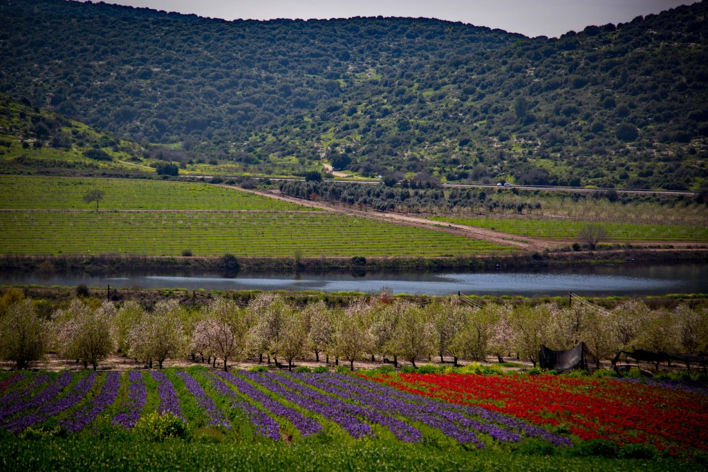 The blossoming flowers fields in Elah Valley. March 01, 2016. (Yaakov Lederman/FLASH90)