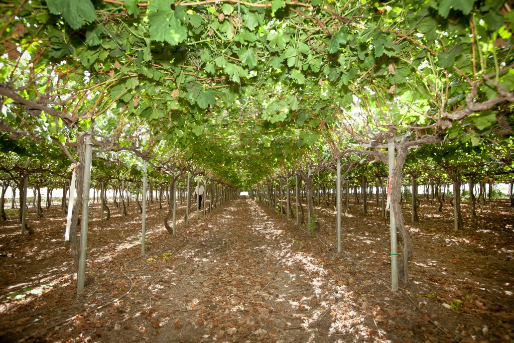 Grapes growing at a vineyard in the northern coastal town of Zichron Yaakov. (Moshe Shai/Flash90)