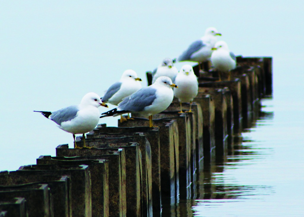 Birds hang out this past Sunday on a placid and ice-free Lake Erie. (Flickr/Anne Scott)
