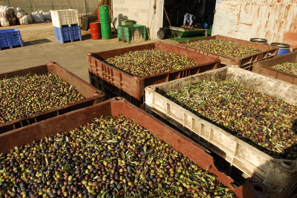 KARMEY YOSEF, ISRAEL - NOV 27 2008: Harvested olives are transported right after harvest to an oil production house. The olives are collected from harvesting nets that are located under olive trees. A mechanical harvester is attached to each tree and vibrates for 10 to 15 seconds. The vibration works its way up the tree and the olives come raining down on the nets. The harvested olives are used for oil production at the same day. Photo by Gili Yaari / Flash 90. *** Local Caption *** ????? ???? ?????? ???? ???? ????? ??? ???