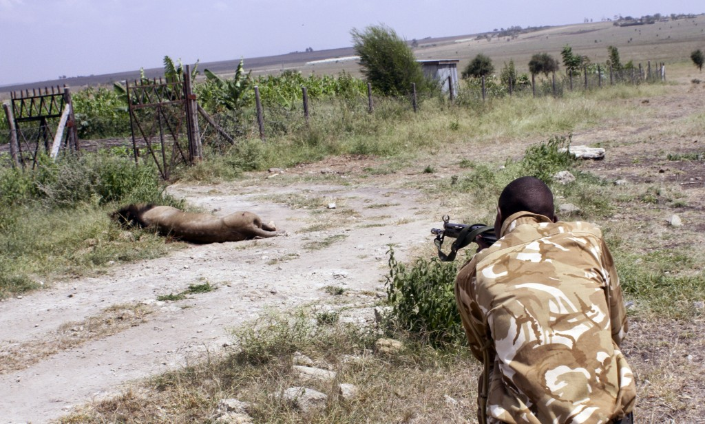 A ranger from the Kenya Wildlife Service shoots dead the lion that had strayed from the Nairobi National Park, in Kajiado, Kenya, on Wednesday. (AP Photo)