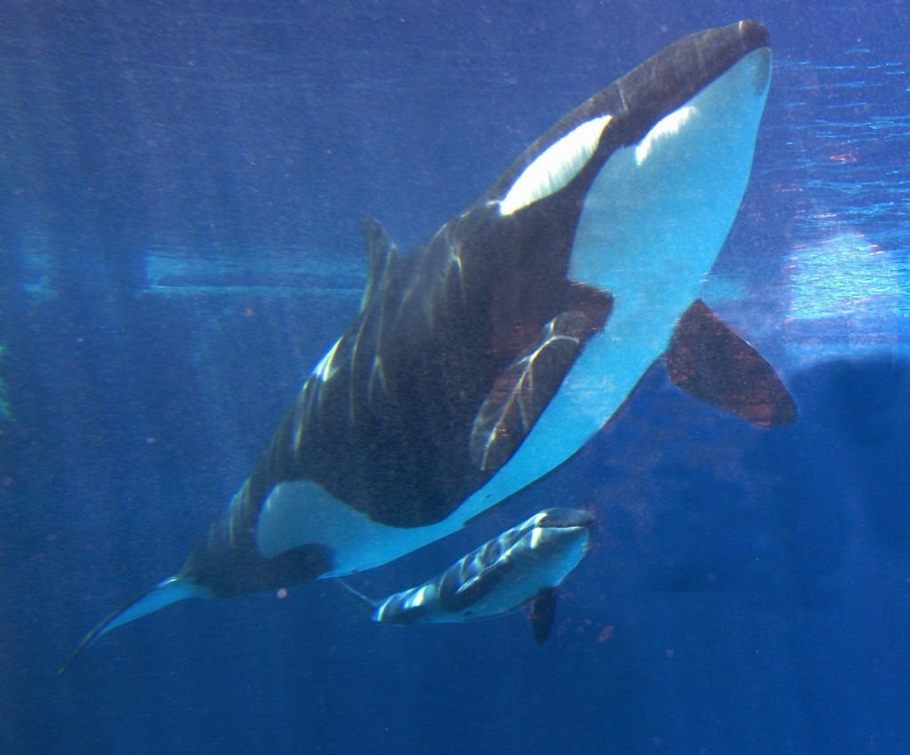 In this 2002 photo, Takara swims with her calf at SeaWorld in San Diego. (AP Photo/Jack Smith, File)