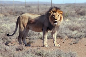 In this July 23, 2015 photo, Spook the lion is seen after he was recaptured after escaping from the Karoo National Park in South Africa. The lion, which escaped again on Sunday night. (Gabriella Venter/SANSParks via AP)