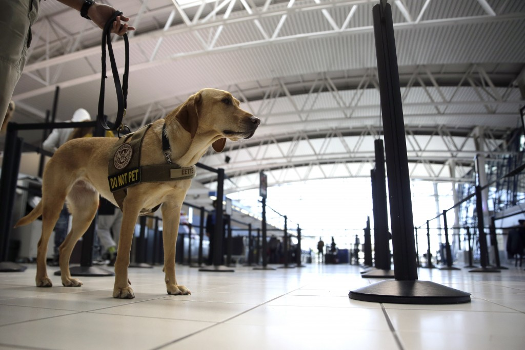 A dog specially trained by the TSA to detect explosives, at Lambert-St. Louis International Airport. (AP Photo/Jeff Roberson, File)