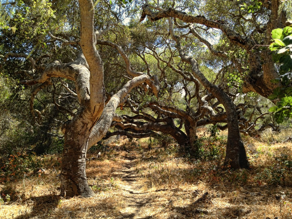 A Path Meanders Through a Grove of Old Oak Trees.