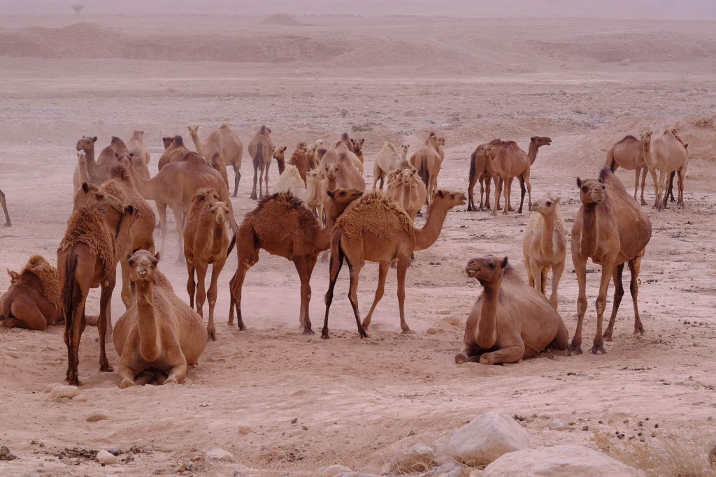 A herd of camels seen in the Judean Desert on September 10, 2015, as a major sand storm hit across the country. (Yaniv Nadav/Flash90)