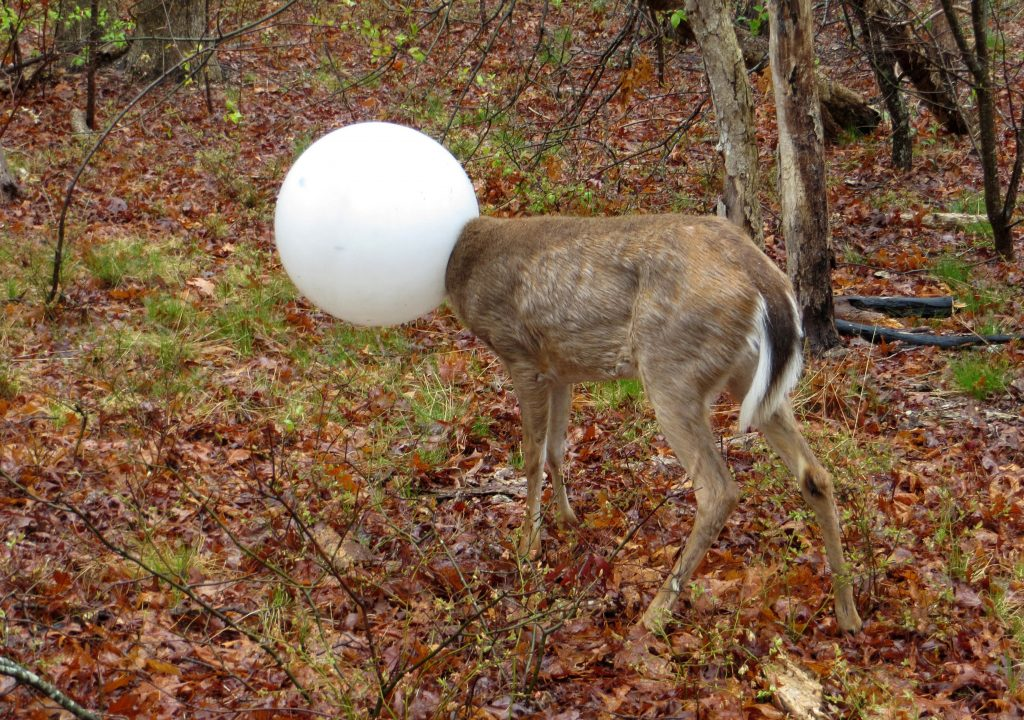 A deer with its head caught in the globe from a lighting fixture stands Tuesday in the woods in Centereach, N.Y. (New York State Department of Environmental Conservation via AP)