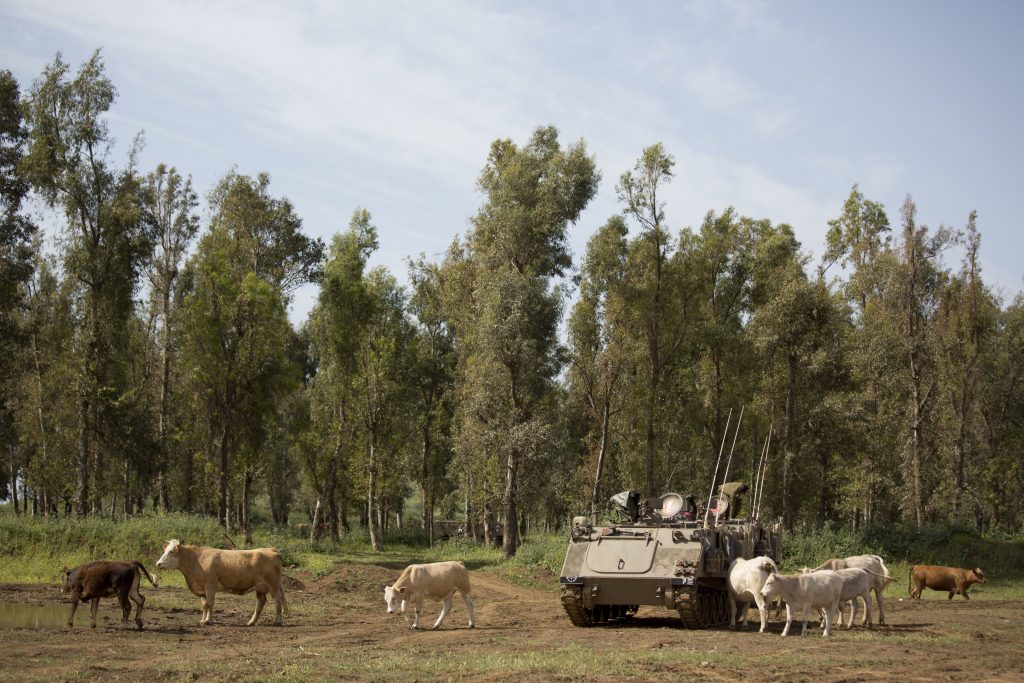 Cattle graze by an Israeli military APC in the Golan Heights. (AP Photo/Ariel Schalit)