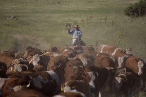 Israeli cowboy Yehiel Alon rounds up some 650 head of cattle. (AP Photo/Ariel Schalit)