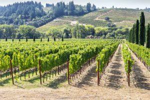 A vineyard in Napa Valley.