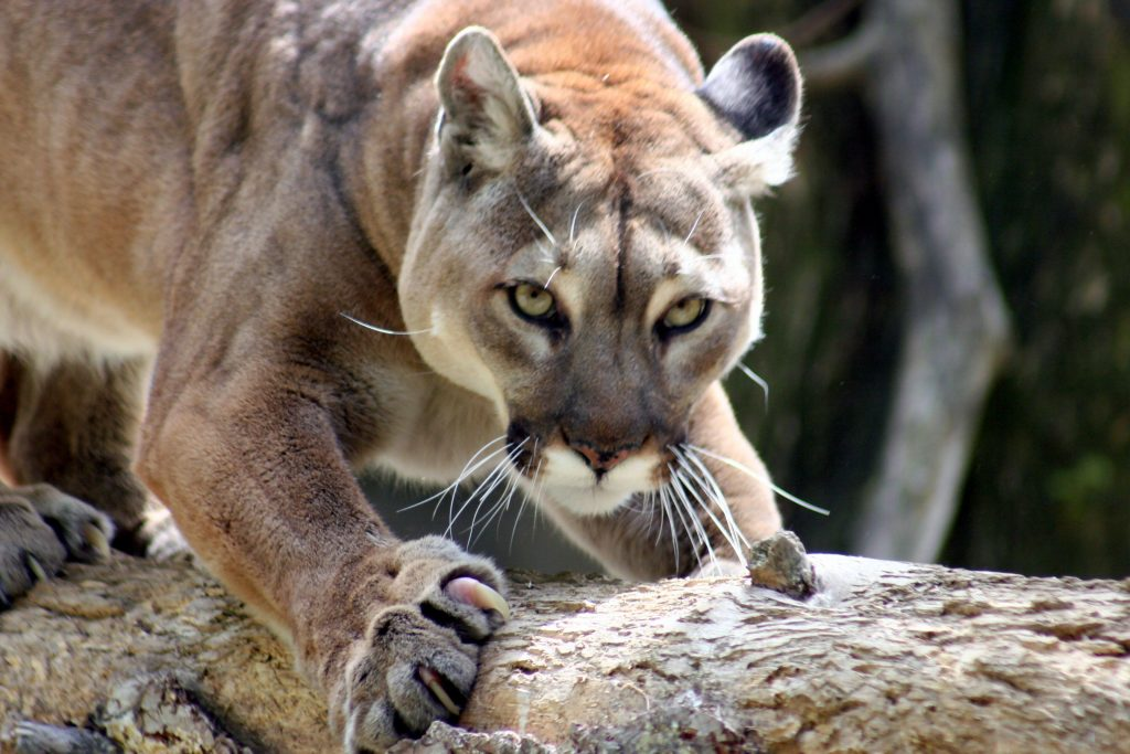 A mountain lion.