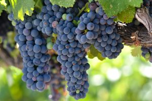 Grapes on a vine in Napa Valley.