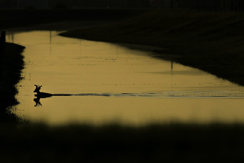 A deer swims through a flooded ditch near the Brazos River in Richmond, Texas., Tuesday, May 31, 2016. Residents of some rural southeastern Texas counties were bracing for more flooding along a river that reached a record high Tuesday as more rain was expected in the coming days. (Michael Ciaglo/Houston Chronicle via AP) MANDATORY CREDIT