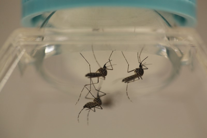 Aedes aegypti mosquitoes are seen at the Laboratory of Entomology and Ecology of the Dengue Branch of the U.S. Centers for Disease Control and Prevention in San Juan. (Alvin Baez/Reuters)