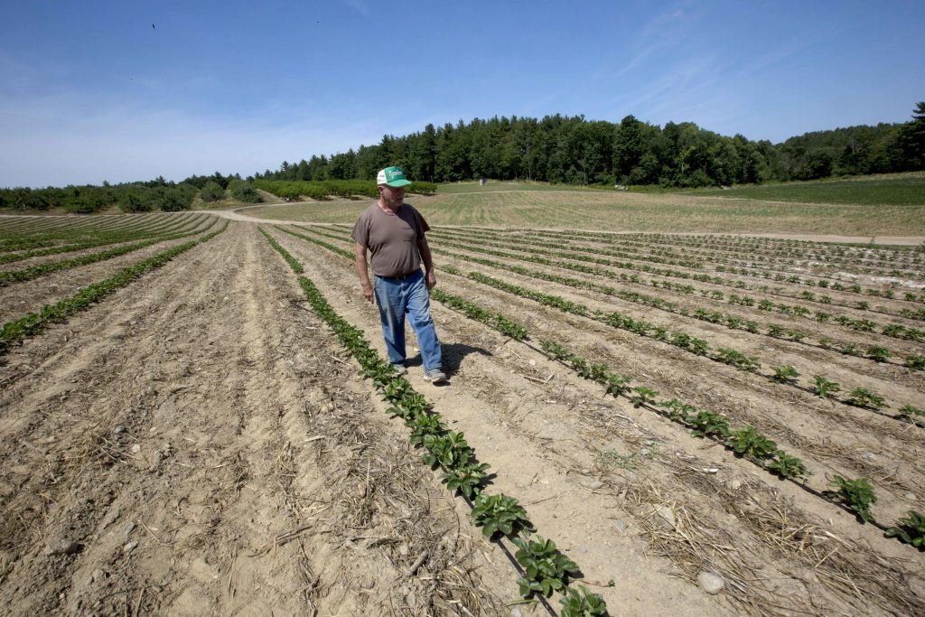 Farmer John Lavoie walks through a drying strawberry patch in Hollis, N.H(AP Photo/Jim Cole)