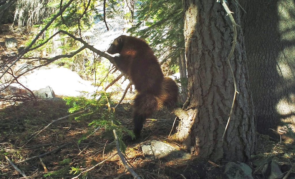 This May 18, 2016, provided by the California Department of Fish and Wildlife,photo from a remote camera set by biologist Chris Stermer, shows a wolverine in the Tahoe National Forest near Truckee, Calif. Once believed to have gone extinct in the Sierra Nevada. (Chris Stermer/California Department of Fish and Wildlife via AP)
