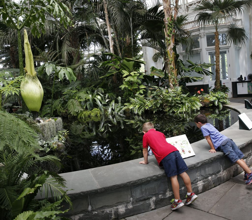 Two boys stare at the rare Corpse flower, one of the earth's largest flowers, which is about to bloom Thursday during a brief 24 to 36-hour period, in the New York Botanical Garden. The unusual plant is named for its pungent scent, which smells like rotting flesh. The smell attracts flies, which provides the flower with its sustenance. The last time this species bloomed in the garden was in 1939. This particular plant was ten years in the making. (AP Photo/Kathy Willens)