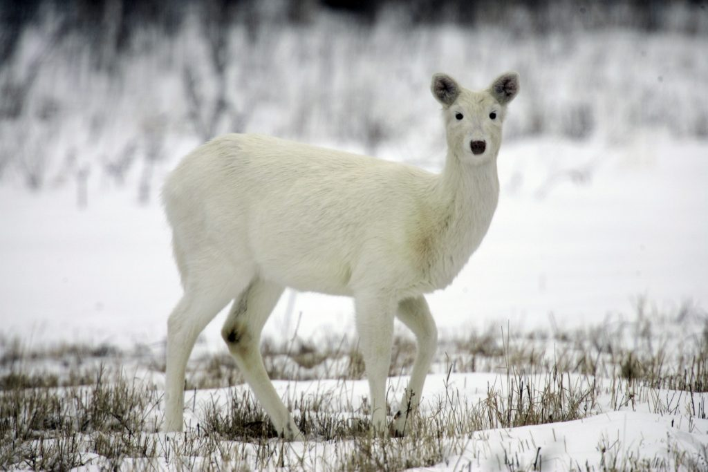 A white white-tailed deer looks up at the former Seneca Army Depot in Romulus, N.Y. (AP Photo/David Duprey, File)