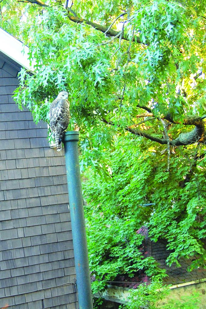 A hawk has been nesting in a Midwood home since last week Friday. The predator bird is rare in southern Brooklyn. (Yitzchak Zager)