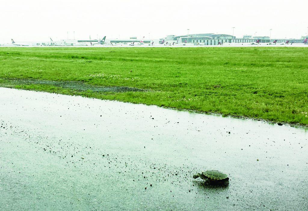 A diamondback terrapin turtle on a JFK airport runway. (AP Photo/PANYNJ)