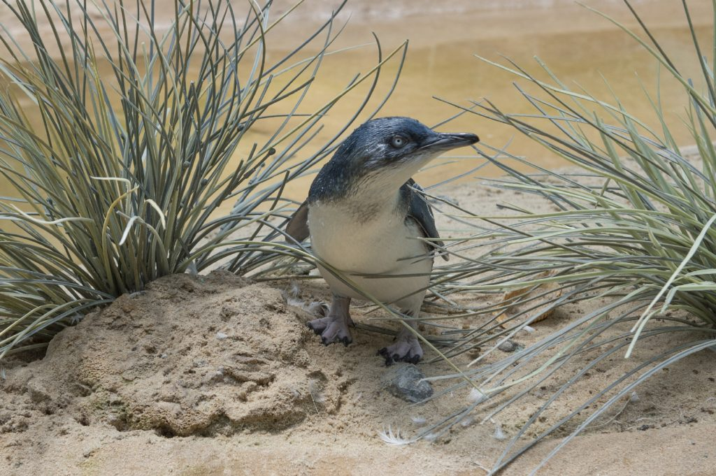 """The """"little penguin"""" chick in its habitat at the Bronx Zoo. (Julie Larsen Maher/Wildlife Conservation Society via AP)"""