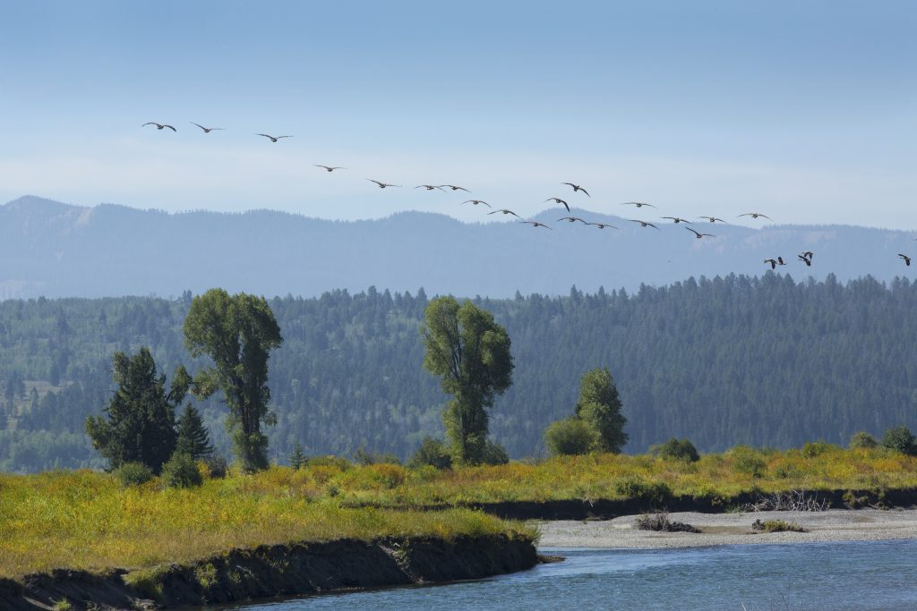 A flock of geese in flight over the Buffalo Fork River in Jackson Hole, Wyoming.