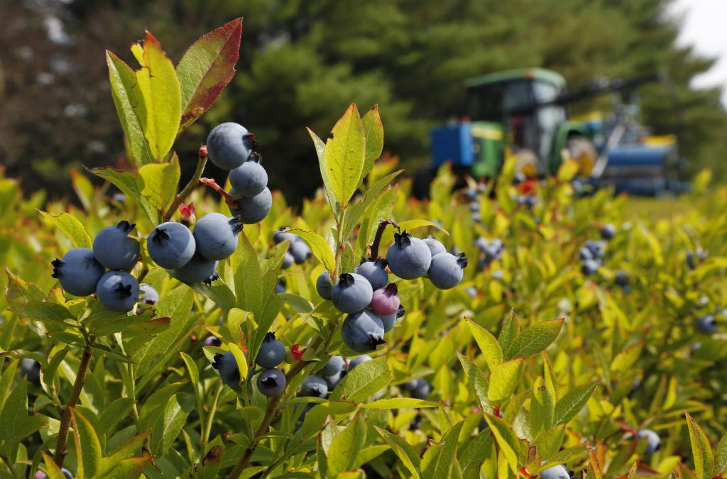 A blueberry harvester makes its way through a field near Appleton, Maine, in July 2015. (AP Photo/Robert F. Bukaty, files)