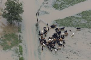 Cattle huddle as Hammond, La., is inundated by floodwater on Saturday. (AP Photo/Max Becherer)