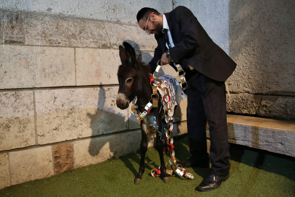 Jews attend a ceremony called the 'Redemption of the first born donkey' or in Hebrew 'Pidyon Peter Chamor' in Jerusalem on August 10, 2016. The tradition of the Redemption of the first born donkey is part of the 613 laws commemorated in the Jewish Bible. Photo by Yaakov Cohen/Flash90 *** Local Caption *** פדיון פטר חמור ירושלים הרב בצרי טקס