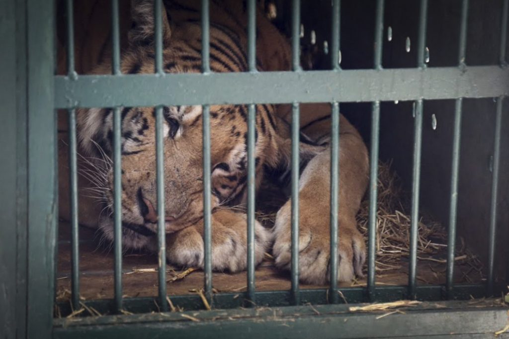 Laziz the tiger being transported from the Gaza Strip's zoo in Khan Younis, to Israel on Wednesday. (Flash90)