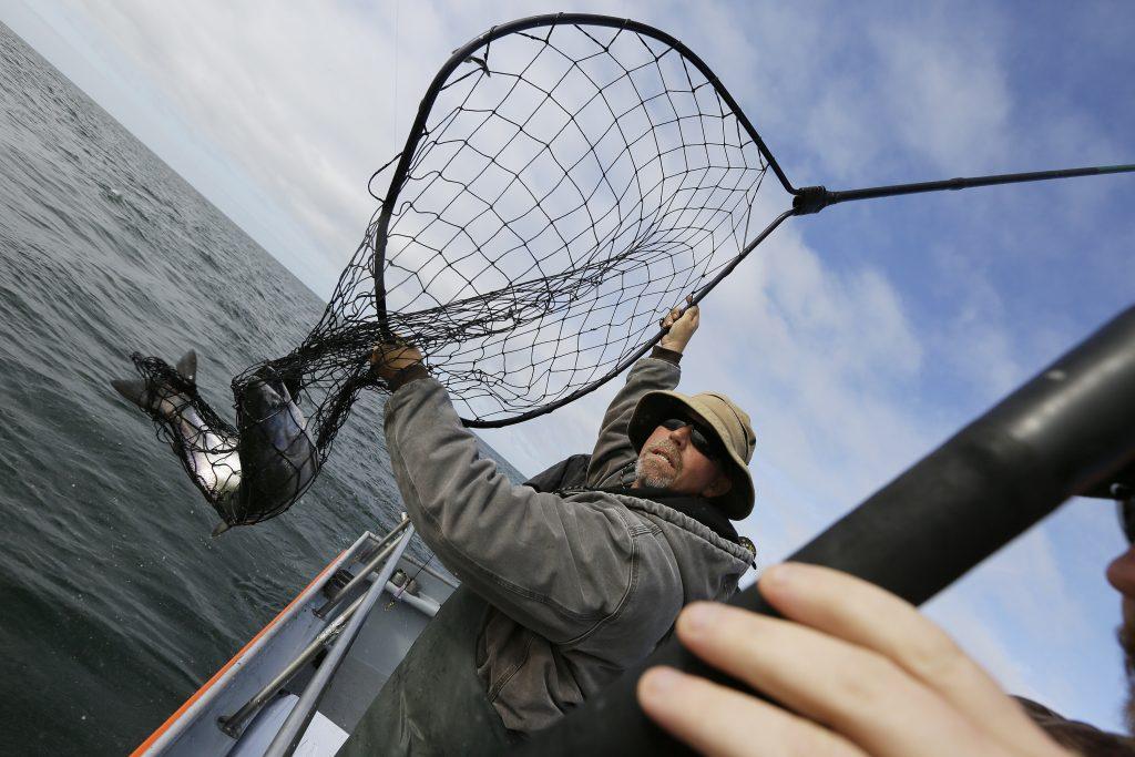 Jared Davis hauls in a salmon caught off the coast of Stinson Beach, Calif. (AP Photo/Eric Risberg)