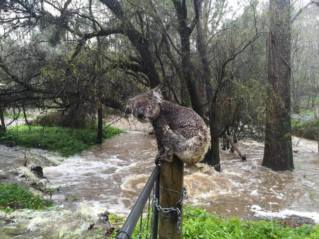 A koala soaked by floodwaters sits atop a fence post to escape the deluge in the town of Stirling in the Adelaide Hills of South Australia in this picture taken September 14, 2016. Russell Latter via REUTERSATTENTION EDITORS - THIS IMAGE WAS PROVIDED BY A THIRD PARTY. FOR EDITORIAL USE ONLY. NO RESALES. NO ARCHIVES. NO THIRD PARTY SALES. NOT FOR USE BY REUTERS THIRD PARTY DISTRIBUTORS. TPX IMAGES OF THE DAY