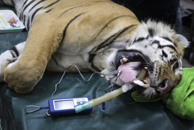 "Laziz the tiger is checked by veterinarians in Tel Aviv, after being transported from the Gaza Strip's zoo in Khan Younis, on August 24, 2016. The tiger, along with several other animals, were transported from Gaza's zoo, dubbed, the ""world's worst zoo"" and will be head to a new life in South Africa, with better conditions. Photo by Flash90"