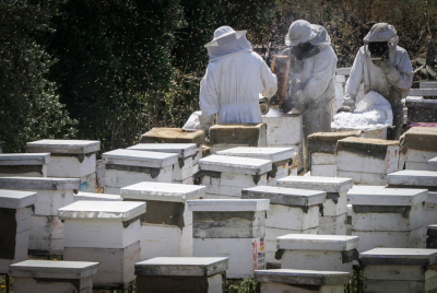 Beekeepers collecting honey. Photo by Abed Rahim Khatib/Flash90 *