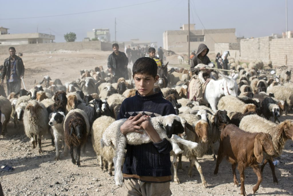A boy carries a lamb as he flees an area of fighting between the Iraqi forces and Islamic State terrorists in Gogjali, on the eastern edges of Mosul, Iraq, on Sunday. (AP Photo/Marko Drobnjakovic)