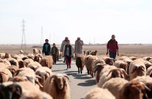 People fleeing clashes in Tweila'a village and Haydarat area walk their sheep, north of Raqqa, on Tuesday. (Reuters/Rodi Said)