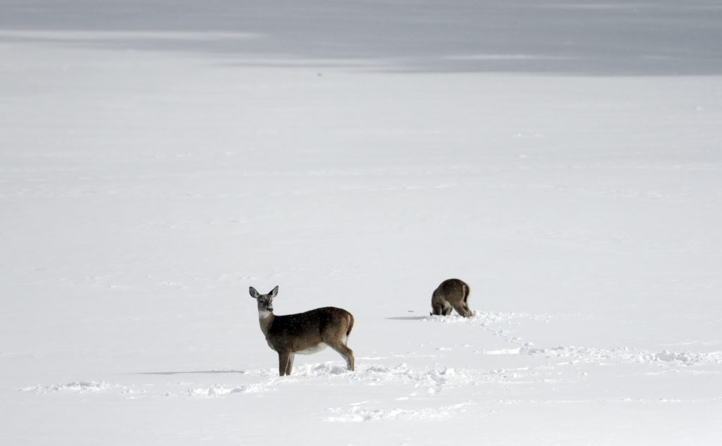 Deer look for food in a snow-covered field Stephentown, N.Y.  on Monday. (AP Photo/Mike Groll)