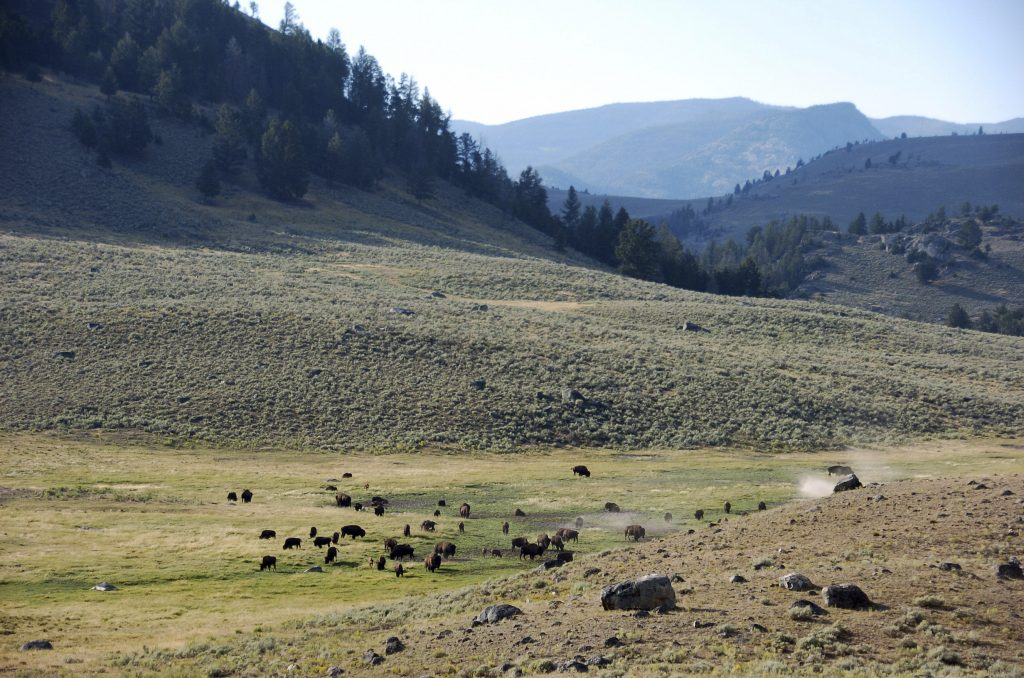 A herd of bison in Yellowstone National Park's Lamar Valley in Montana. (AP Photo/Matthew Brown, File)