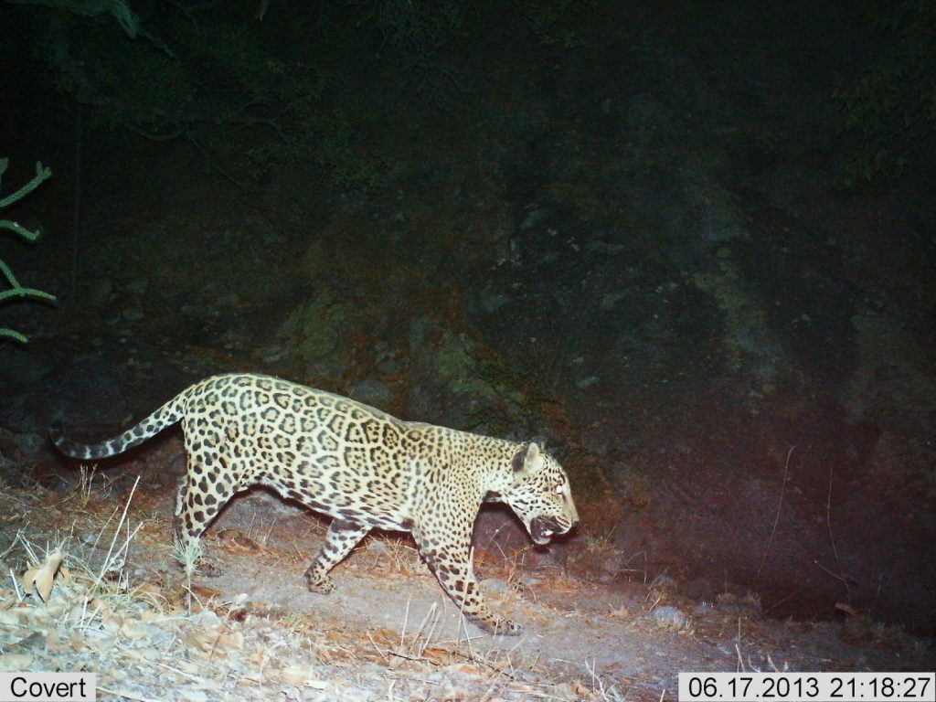 "A male jaguar known as ""El Jefe"" is shown in a photograph taken by remote cameras in the Santa Rita Mountains of Arizona. (U.S. Fish and Wildlife Service)"