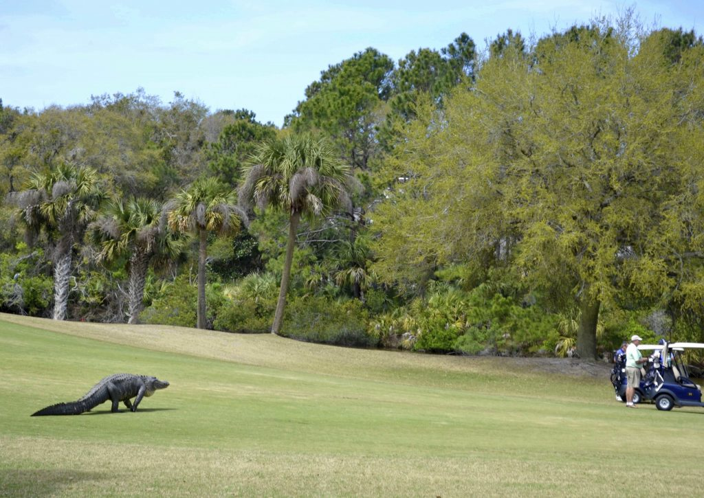 gator, golf, photo op, alligator, crocidile