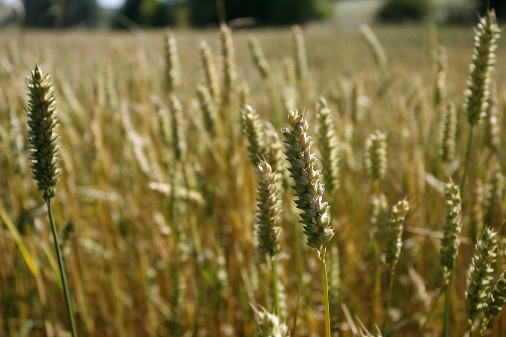 rye, genome