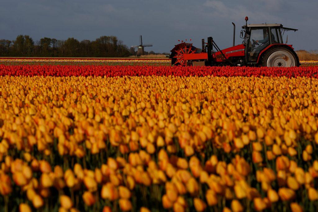 Dutch, tulip, flowers