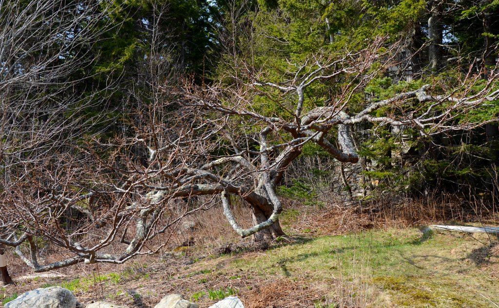 Plum, Japanese Tree, Fruit