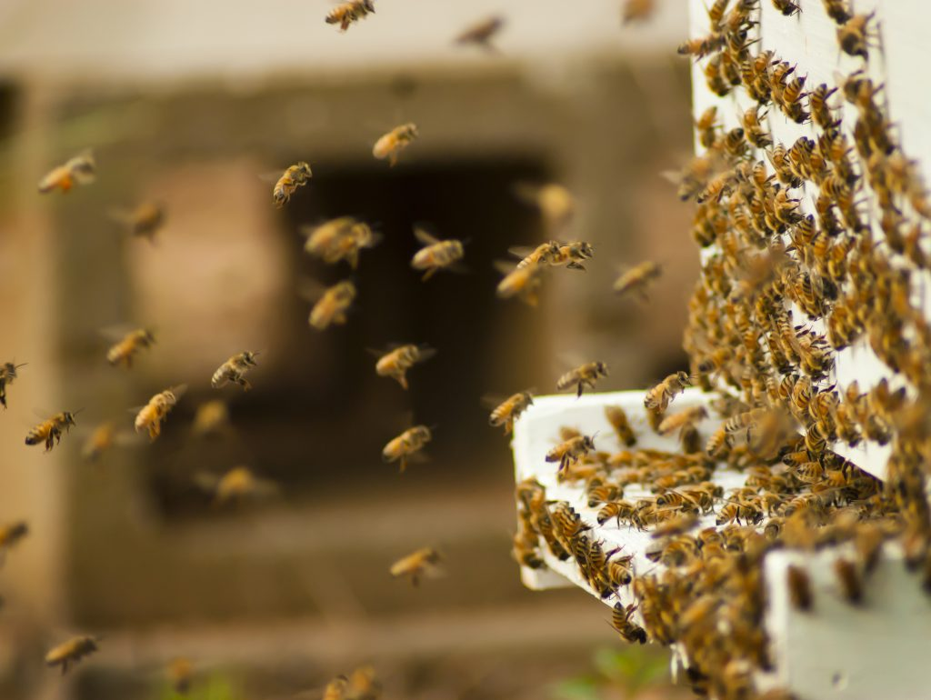 Bees, Sting